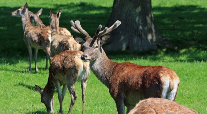 Osservazione dei cervi al bramito