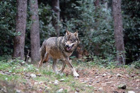 Censimento del lupo : primo passo per tutelare il predatore e gli interessi agricoli